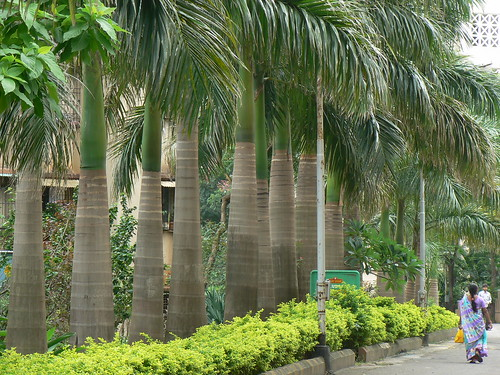 Cuban Royal Palm Arecaceae Palm Family 187 Roystonea