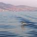 Dolphin outside of Paros