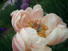 Peony by Helen Indy