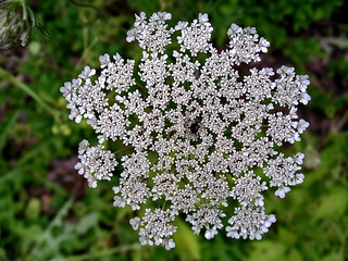Queen Anne's lace | by Blue Lotus