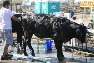 Cow Wash | by Allan Hack