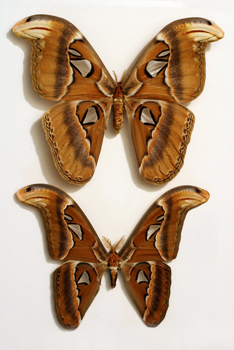 Atlas Moth - (mindblowing + world's largest moth) | by woodleywonderworks