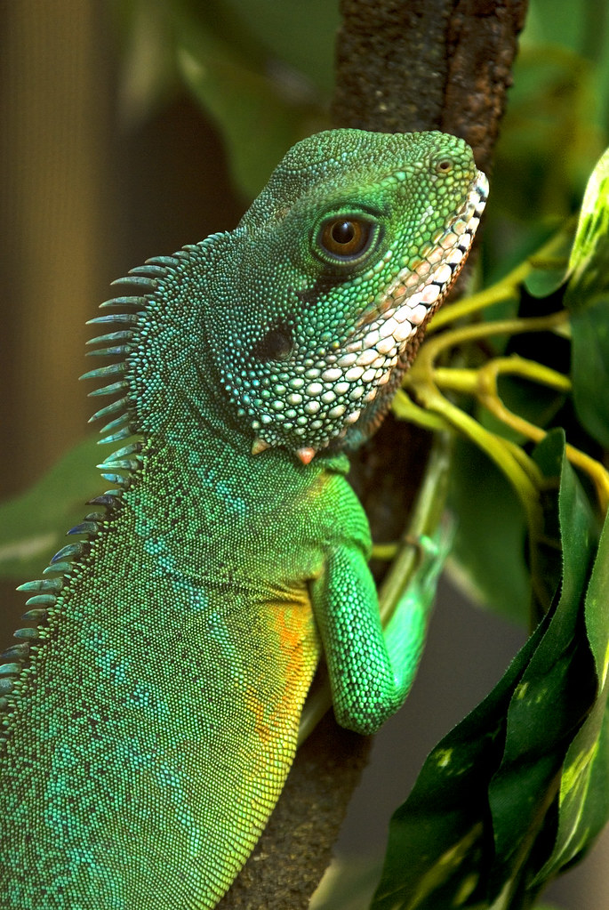 Asian water dragon is orange
