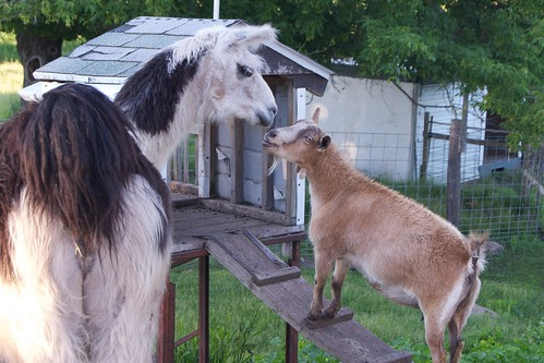 Interspecies Bonding: Llama Meets Goat | by pmarkham