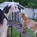 Interspecies Bonding: Llama Meets Goat