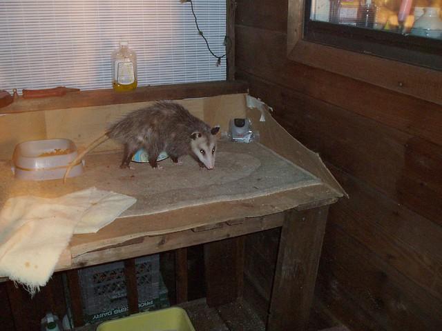 ... Possum On The Cat Feeding Table Felton, Ca | By Safoocat