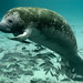 Endangered Florida manatee (Trichechus manatus), Crystal River National Wildlife Refuge, Florida