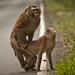 Monkey Sex