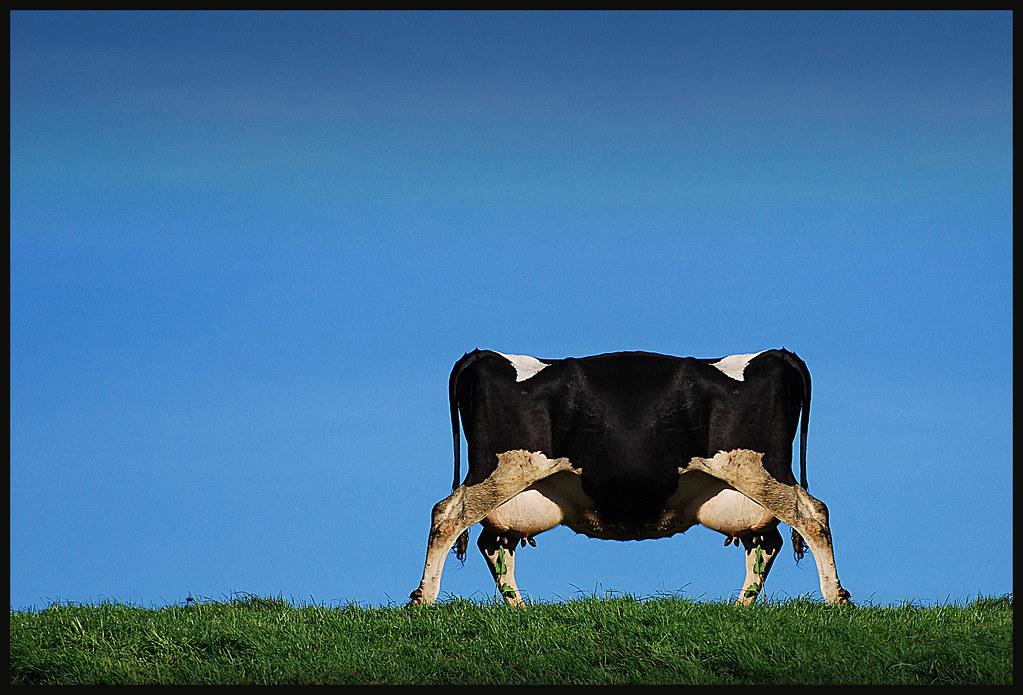 cow cloning gone wrong..... | udder nonsense.... | dewalt ... Real Cloning Gone Wrong