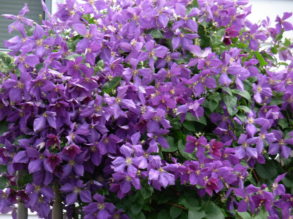 Purple Flower Climbing Vine cdspry