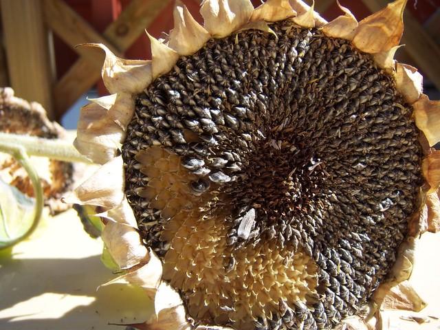aout07 tournesol graines seeds brussels farmer co brusselsfarmer2 flickr