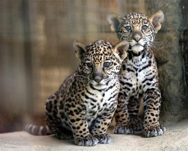 Baby Jaguars | Just a pic I thought was cute ...
