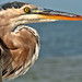 Great Blue Heron (Ardea herodia)