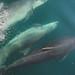 Bottlenose Dolphin (Tursiops truncatus) Sound of Barra 0575 09 Jun-07