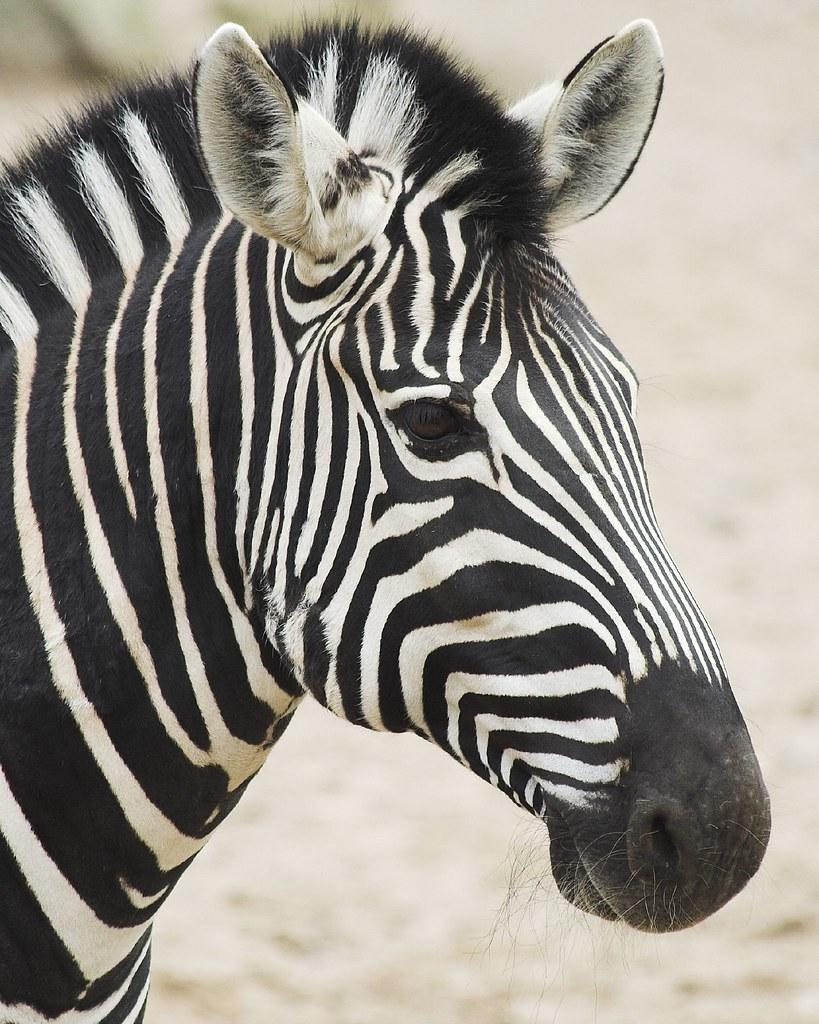 How To Draw A Zebra Fa...
