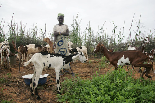 Woman fattening goats in Niger