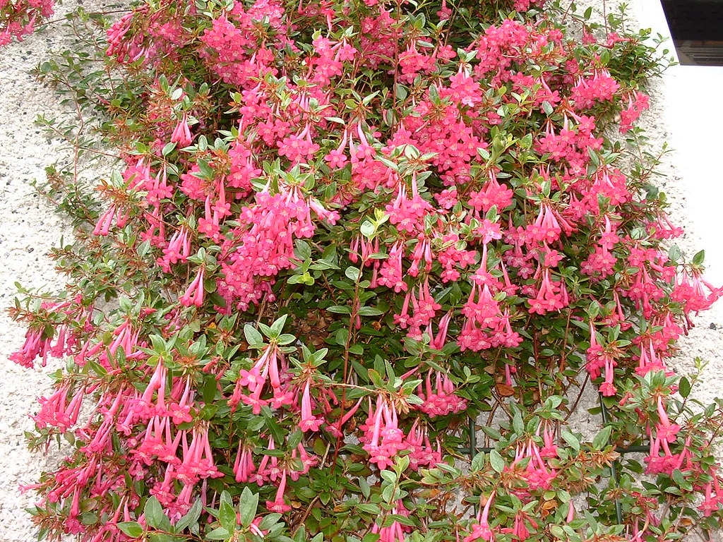 Abelia floribunda martinpope32 flickr for Arbustos de jardin fotos
