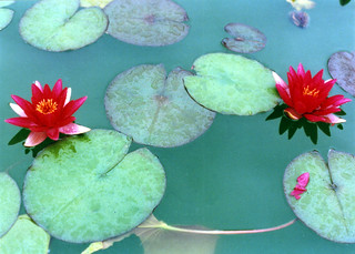 water lillies | by authorwannabe