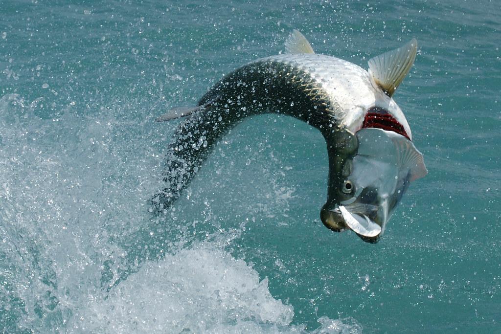Tarpon tarpon marathon florida keys dave irving flickr for Tarpon fish pictures