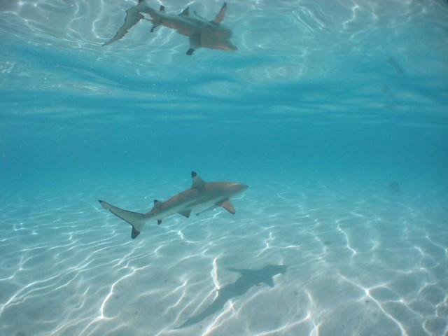 Shark | Shark at ray feeding spot in Moorea | Ros in ...