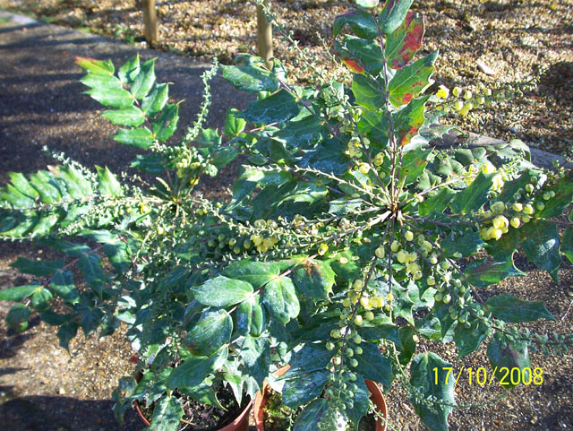 Mahonia japonica 39 bealei 39 this differs from mahonia for Mahonia japonica
