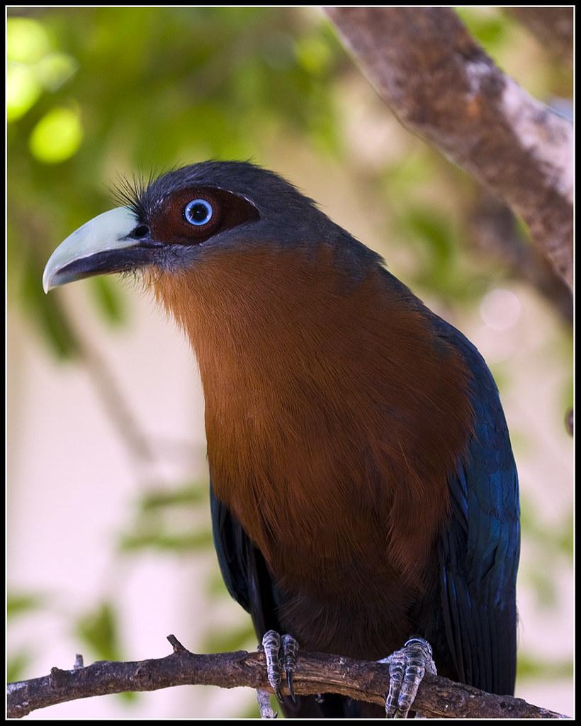 Chestnut Breasted Malkoha Cuckoo Bird