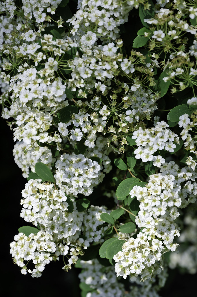 Clustered white flowers in a bush a large bush on the side flickr mightylinksfo