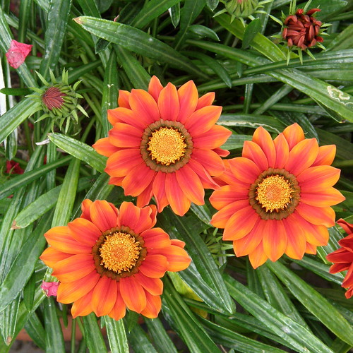 #5513 gazania (ガザニア)? | by Nemo's great uncle