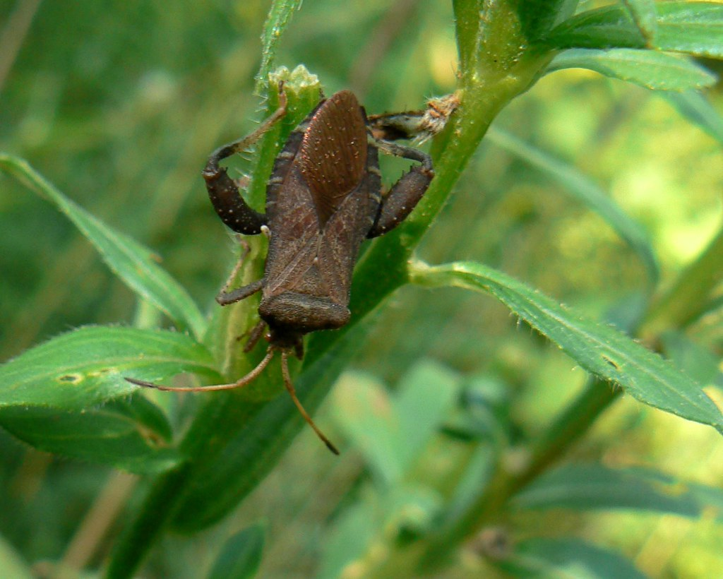 Helmeted Squash Bug | Those look like some powerful ...