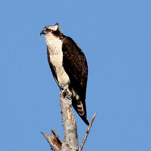 Osprey at Francis Beatty Park, Matthews, NC