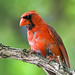 Male Northern Cardinal (Molting)