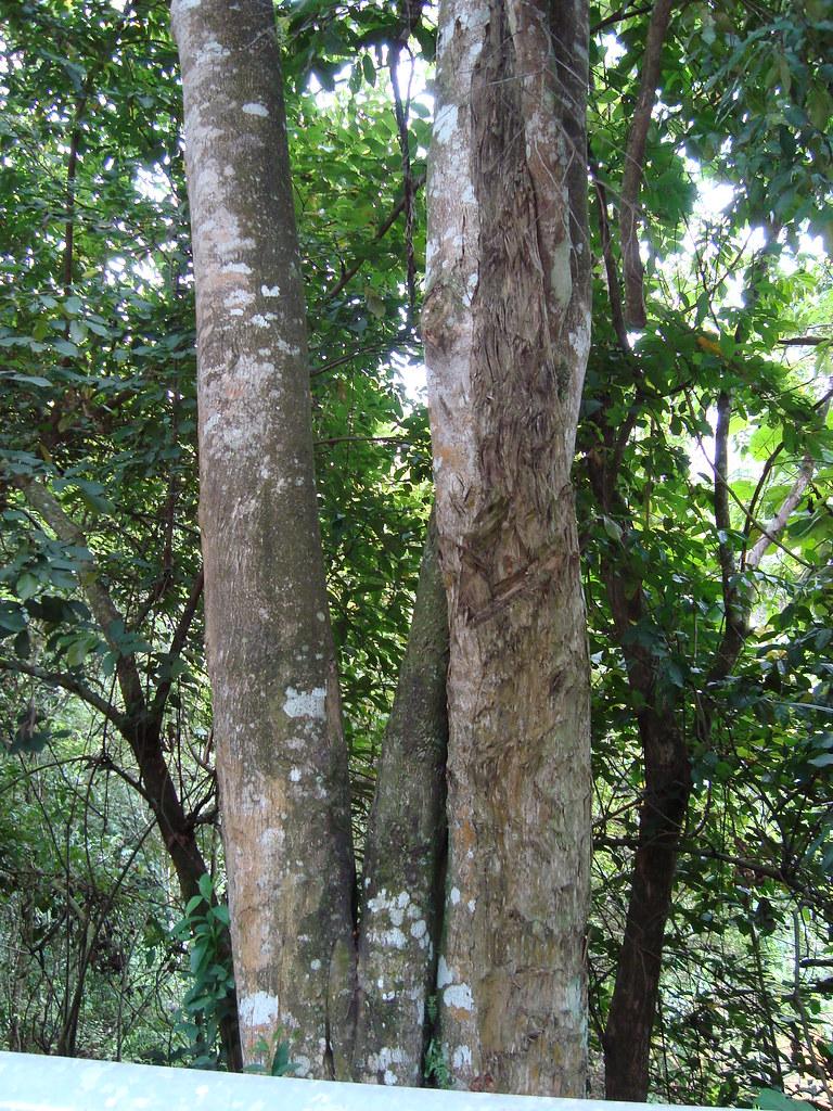 Pokok Gaharu Pokok Gaharu 1 | by