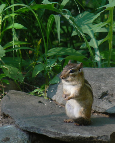 Squeaky chipmunk | by Benimoto