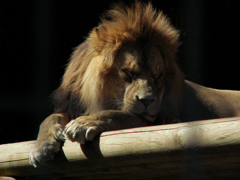 Barbary Lion   Port Lympne Wild Animal Park   Lutrus   Flickr