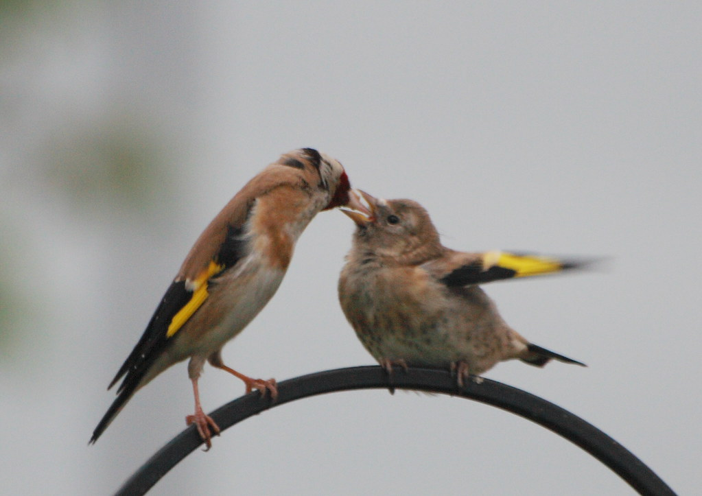Feed me 6. | Baby goldfinch getting fed. | 4652 Paces | Flickr