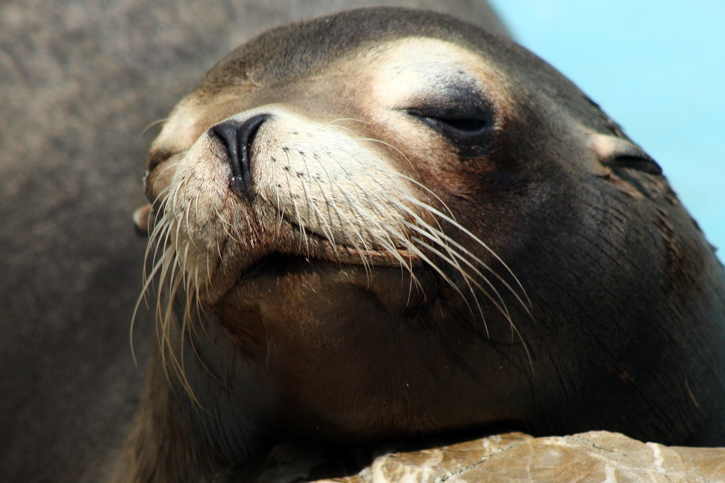 Sea lion face