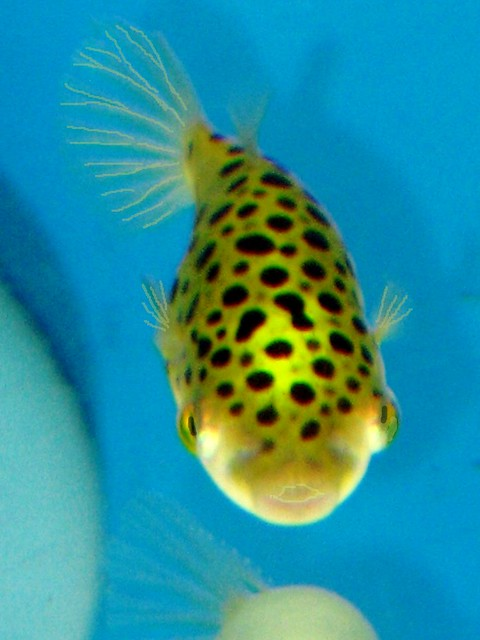 Puffer fish flickr photo sharing for Fresh water puffer fish