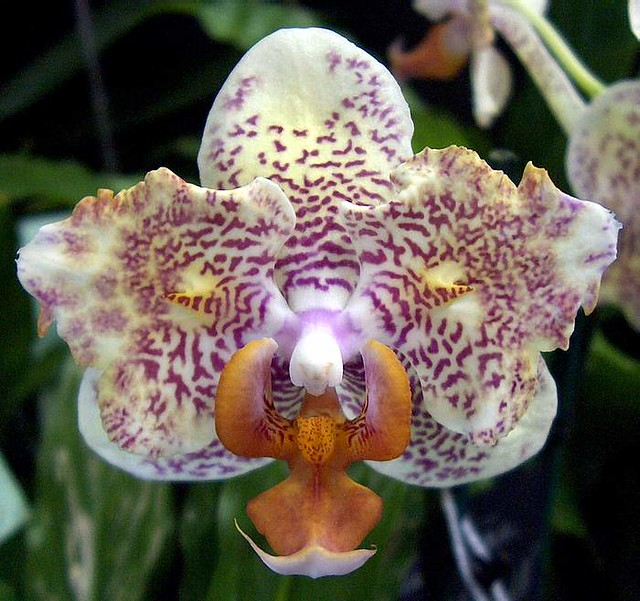 peculiarly patterned peloric phalaenopsis this one has one flickr. Black Bedroom Furniture Sets. Home Design Ideas