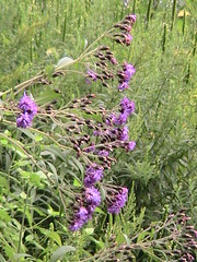 New York Ironweed | by kravinskii