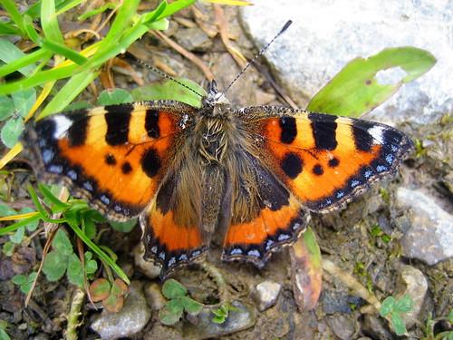 schmetterling butterfly papillon kleiner fuchs ob der lenk im simmental im kanton bern in. Black Bedroom Furniture Sets. Home Design Ideas