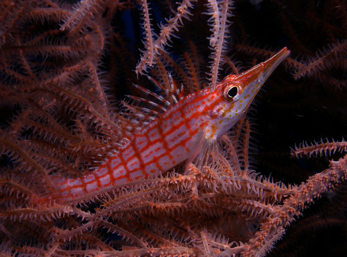 longnose hawkfish | by doug.deep