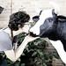 i love urban cattle