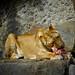 Female Lion eating