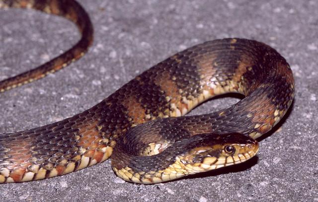 Banded Water Snake --- Se Georgia, Usa  Nerodia Fasciata -6143