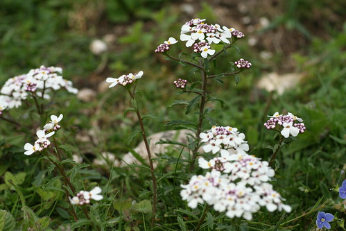 Candytuft | by Barry Cornelius