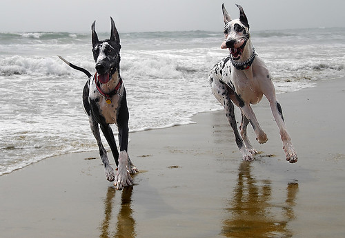 Happy California Danes | by Nick  Carlson