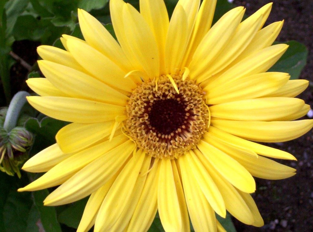 yellow gerber daisy © | This image is copyright, please do ...
