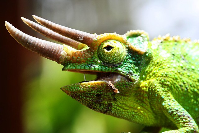 Male jackson chameleon - photo#15