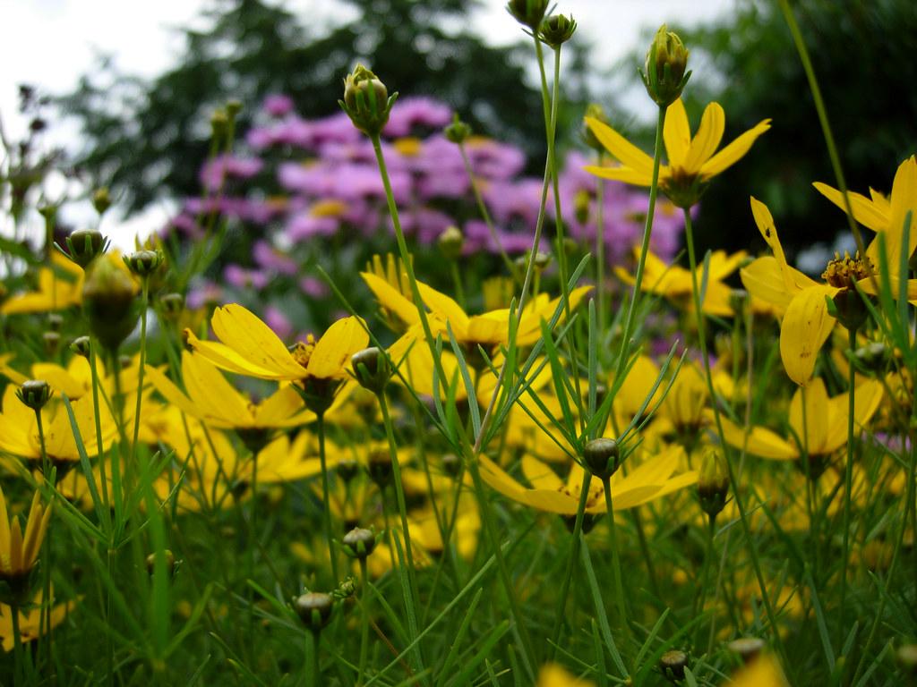 ganze viele gelbe blumen toll son blumen garten hinterm ha flickr. Black Bedroom Furniture Sets. Home Design Ideas