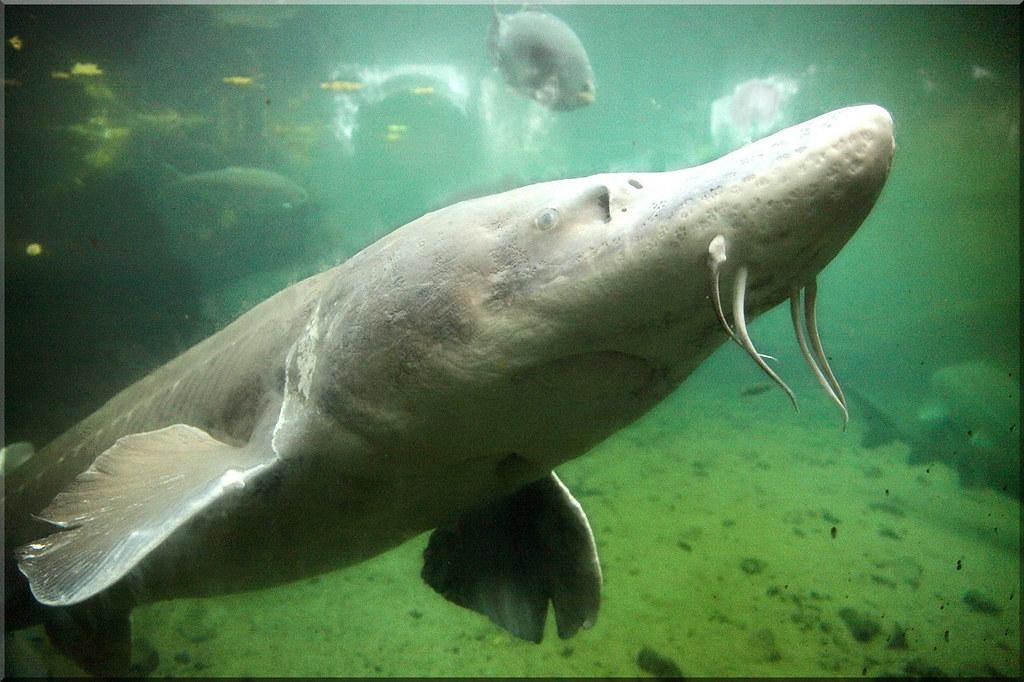 70 year old 10 white sturgeon resides at the bonneville for Bonneville dam fish camera
